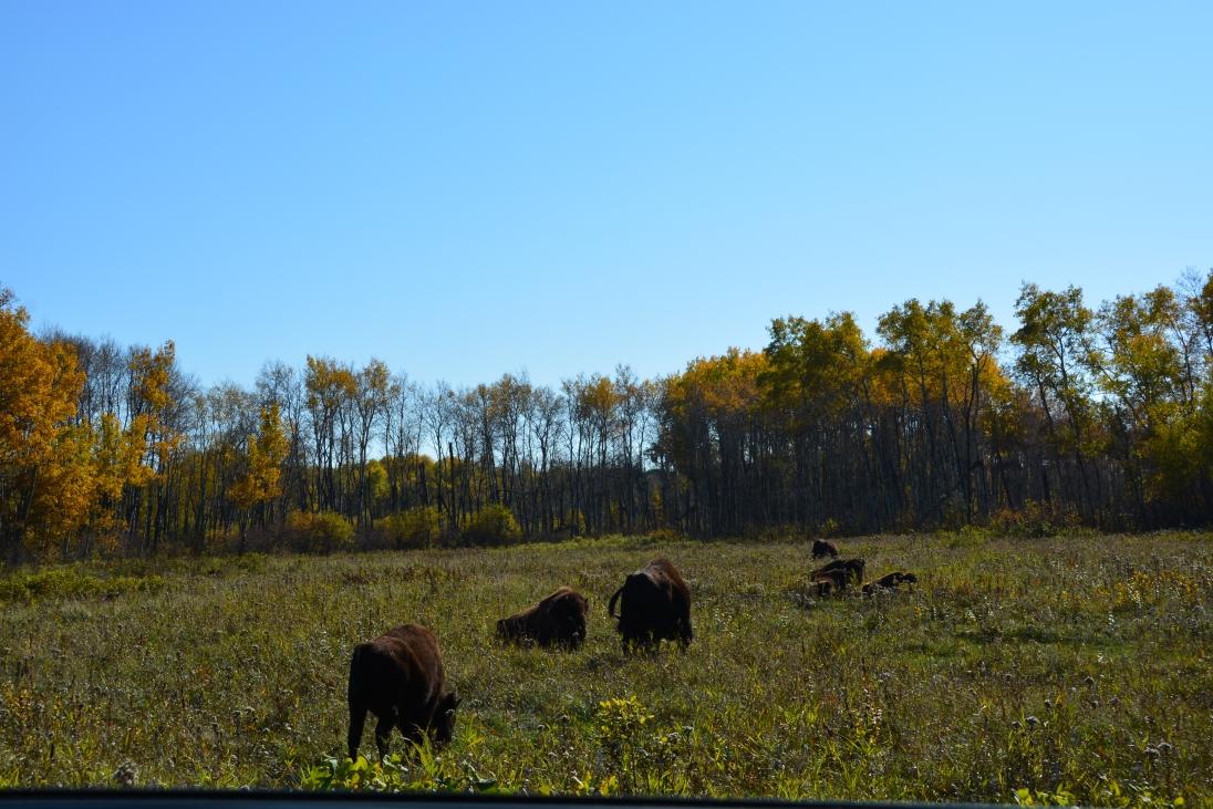 Bison reserve