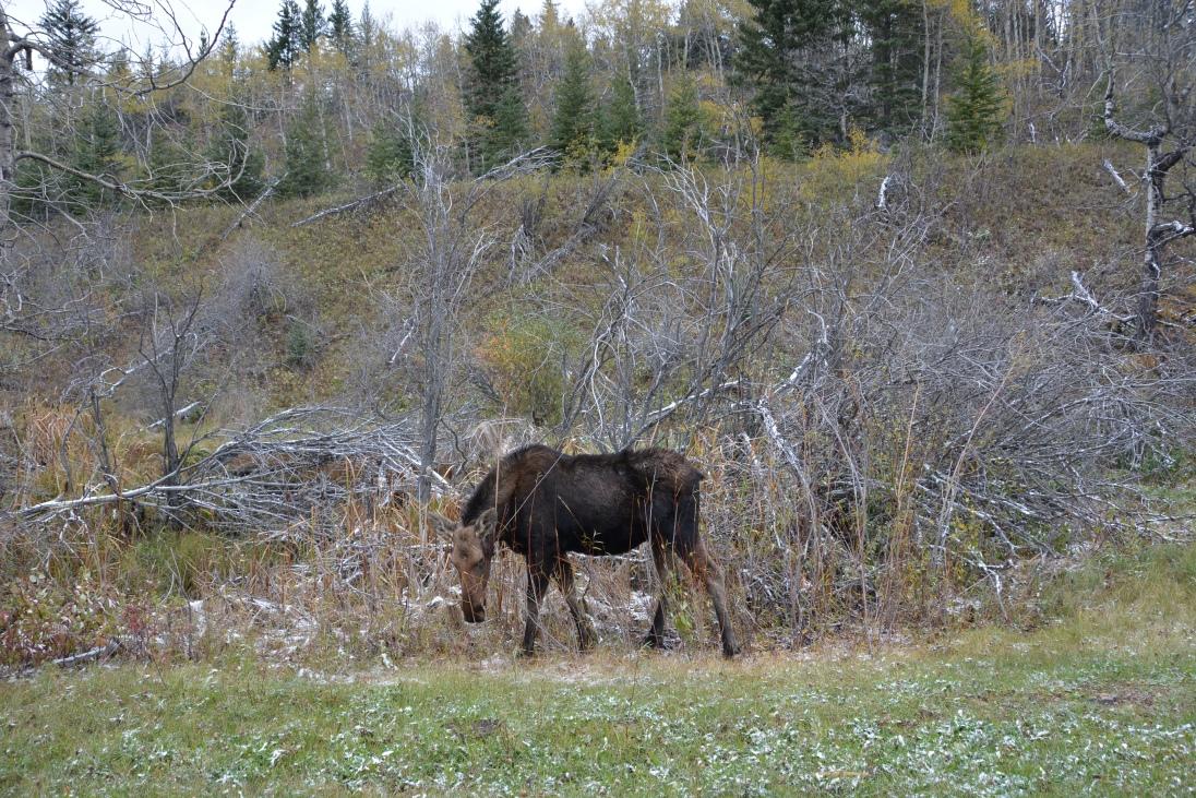 Miss Moose