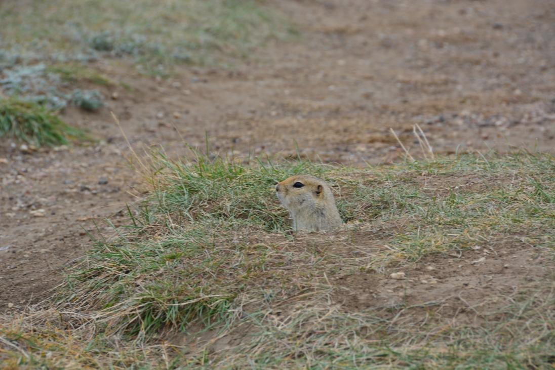 Prairie Squirrel