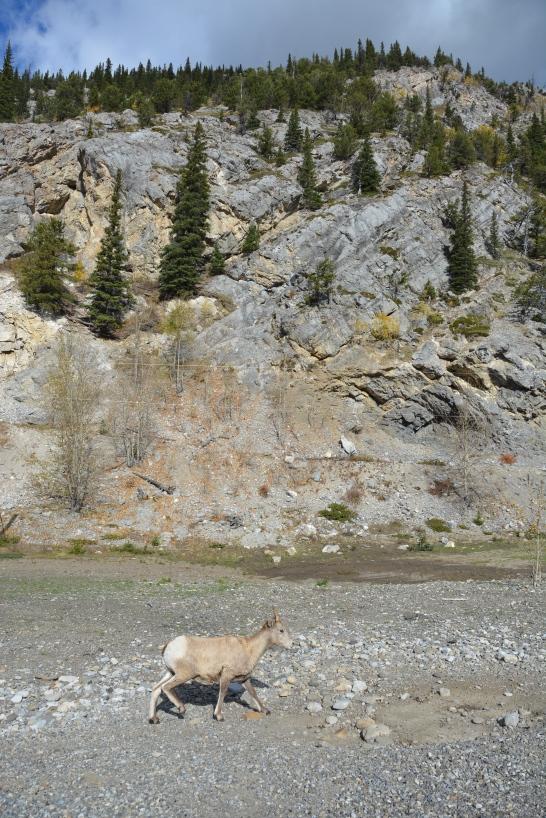 Mountain Sheep!